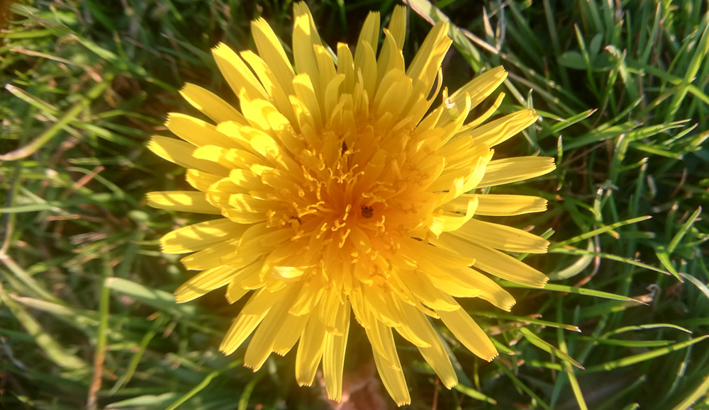 A dandelion in the sun, from above
