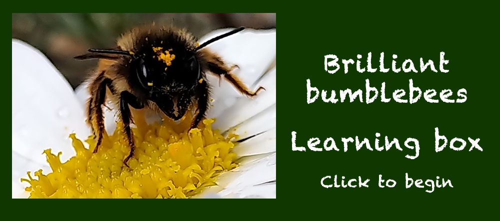 A bumble bee on a flower covered in golden pollen - Buzzing Bees Learning Box - click to start